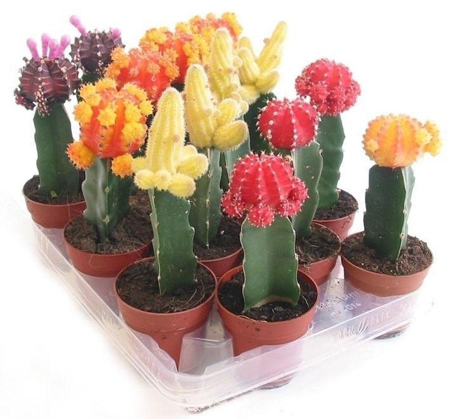 Домашние кактусы: фото, виды, уход, посадка, грунт, цветение