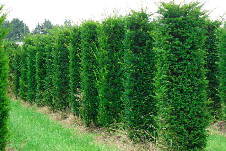 Рейтинг самых нестандартных хвойных деревьев для твоего участка