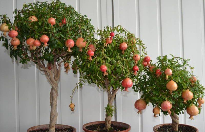 Карликовые Деревья для Дома: фото, виды, описание и уход