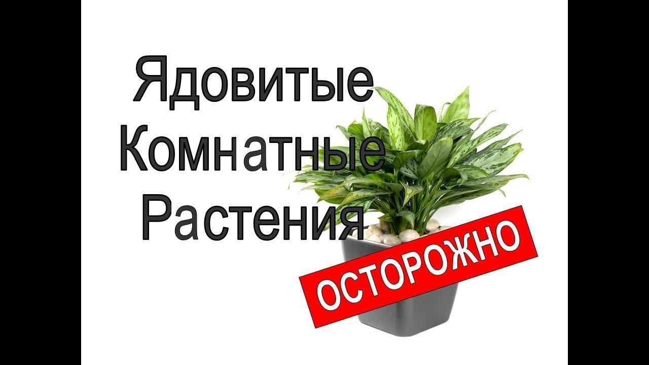 Ядовитые комнатные растения: фото, список, названия, первая помощь