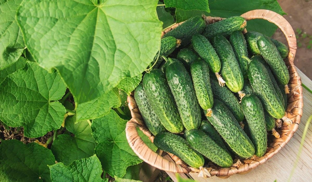 Огурцы в сентябре: посадка, огород, причины, урожай
